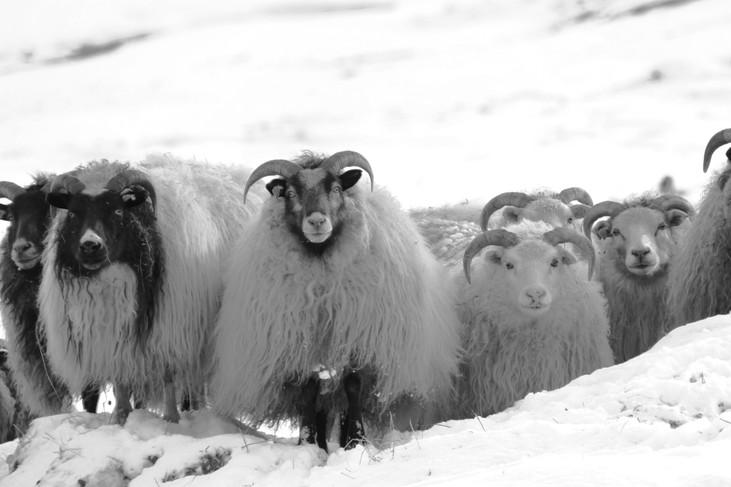 """""""Icelandic Sheep"""" Iceland. 2018"""