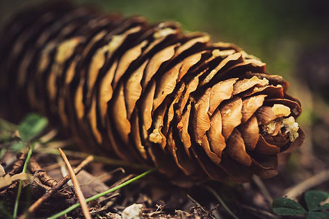 pine-cones-4438856_1280.jpg