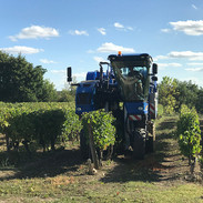 Escrimis vineyard harvest