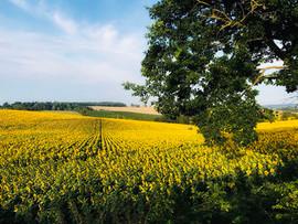 Sunflowers near Grazimis