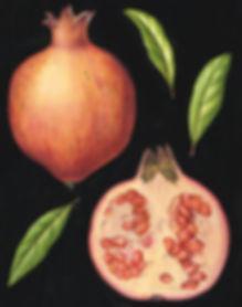 Julia Trickey watercolour of pomegranate. ©Julia Trickey