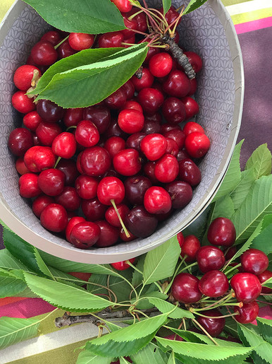 Cherry harvest at Escrimis