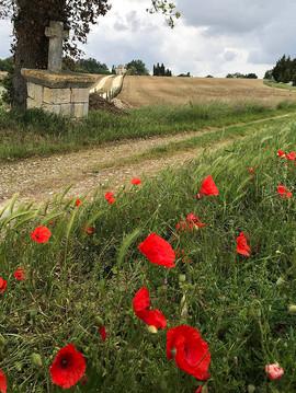 Poppies near Grazimis