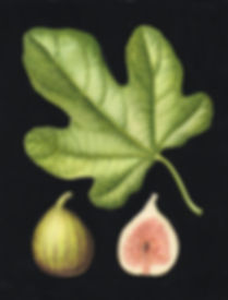 Julia Tricke watrcolur figs and leaf.© Julia Trickey