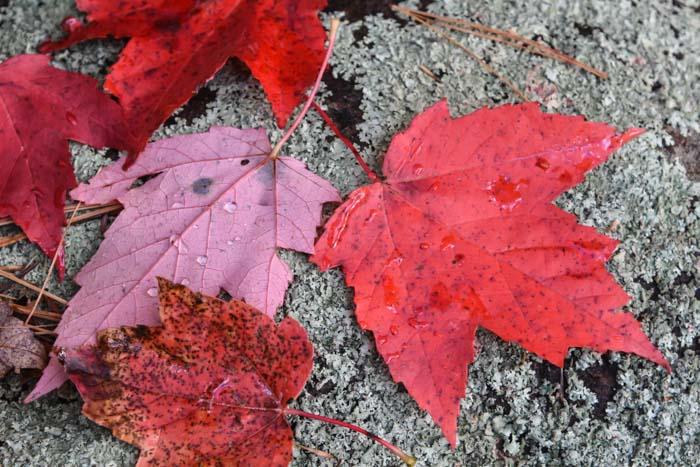 leafs-4