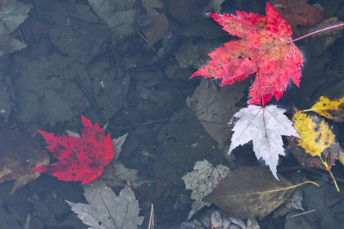 leafs-6