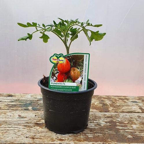 Ochsenherz-Tomate 'Punente'