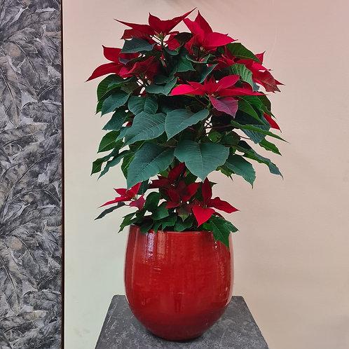 Weihnachtsstern mit rotem Topf
