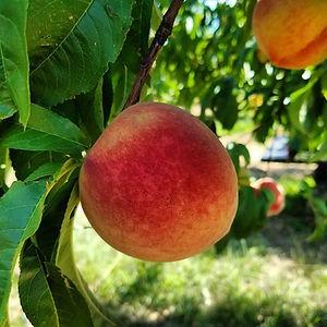 peach 2.jpg