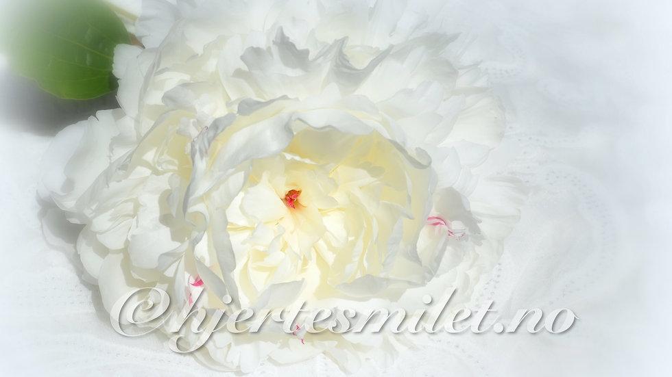 Hvit peon