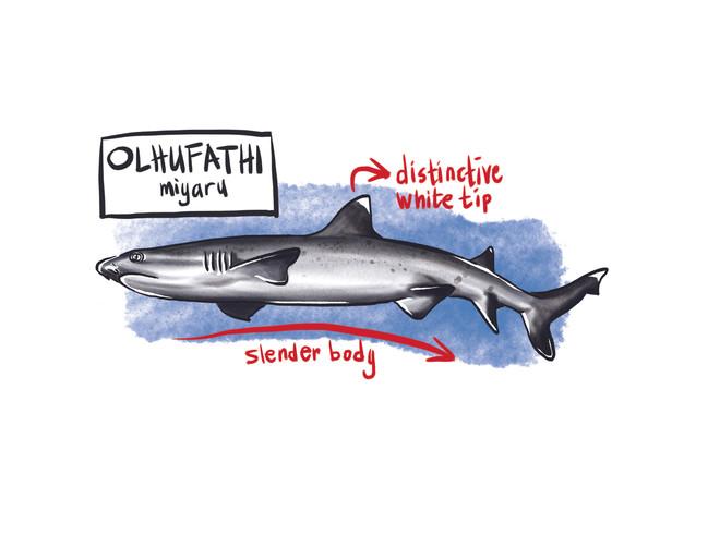White Tip Shark.jpg