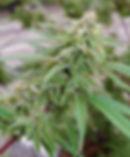 Clonal hemp liners
