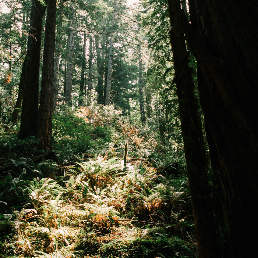 Muir Woods Beauty