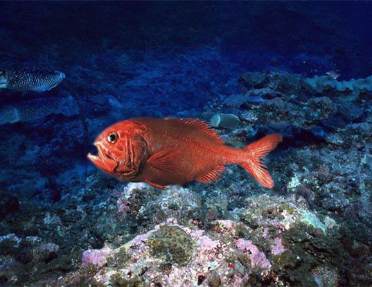Photo image of Orange Roughy Fish