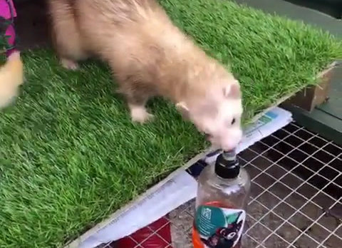 Paddy Steals the Ferret Oil!