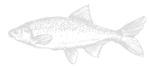 Fish%20with%20Scales%20Sketch_edited.png