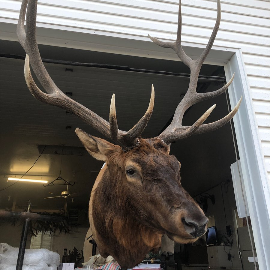Elk Taxidermy