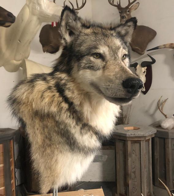 Wolf Taxidermy