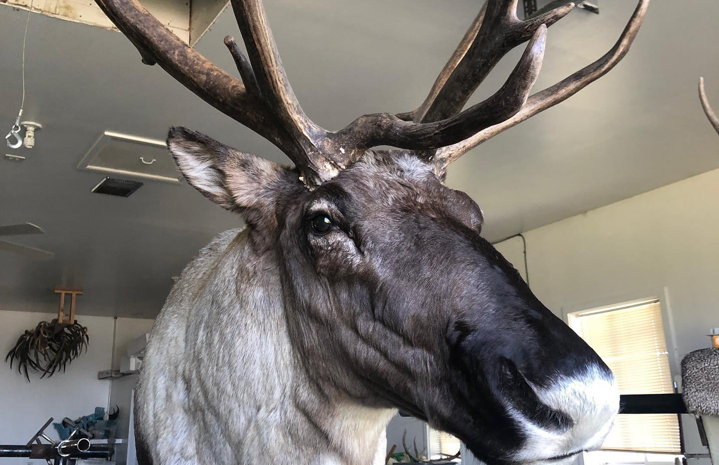 Caribou Taxidermy