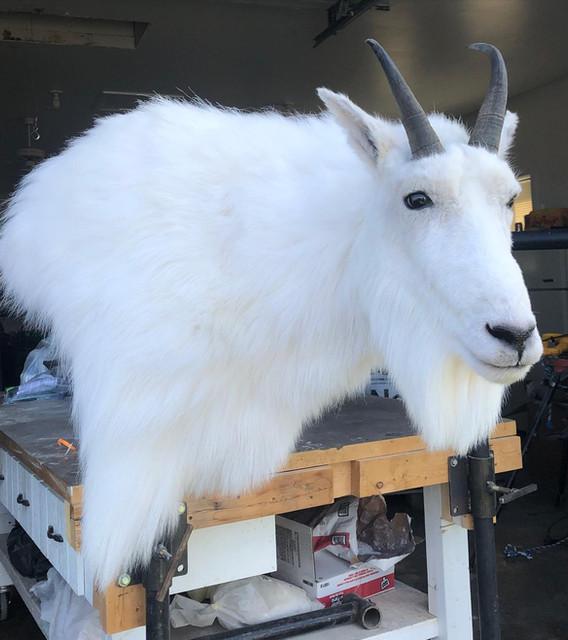 Mountain Goat Taxidermy