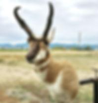 Pronghorn Antelope Shoulder Mount Bozeman Montana
