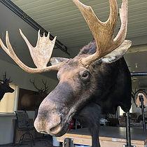 Moose Monday!_._.._.._.jpg