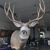 Very nice muley headed home today._._.._