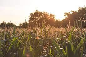 Corn field at Sainji Village