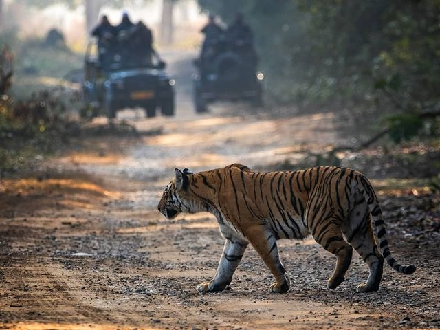 The Bengal tiger spotted during Jeep Safari