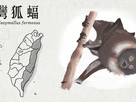 【極危動物】臺灣最大的蝙蝠—臺灣狐蝠