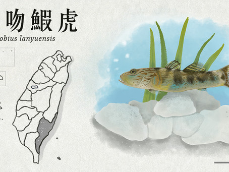 【極危動物】藏身蘭嶼溪流—蘭嶼吻鰕虎