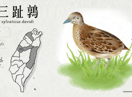 【極危動物】謎樣的存在-林三趾鶉
