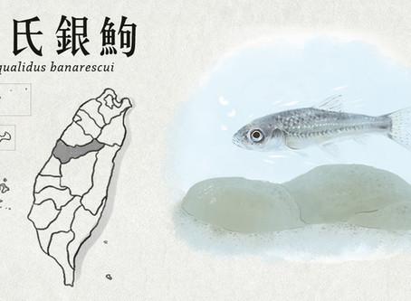 【極危動物】烏溪流域裡的珍稀魚—巴氏銀鮈