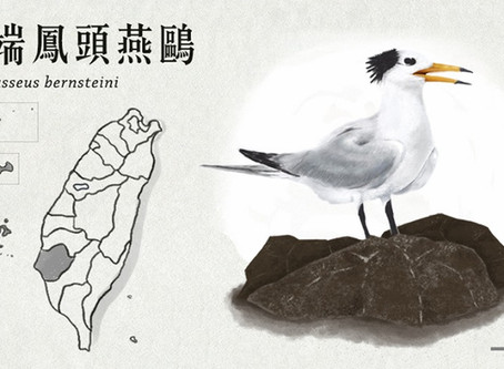 【極危動物】神話現身—黑嘴端鳳頭燕鷗