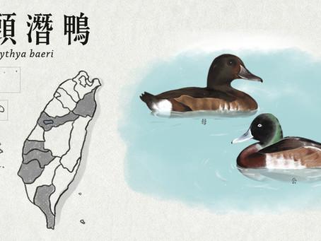 【極危動物】白目的潛水高手—青頭潛鴨
