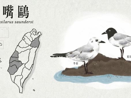【極危動物】黑白使者—黑嘴鷗