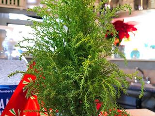 A Tiny Christmas Tree, Lemon Cypress