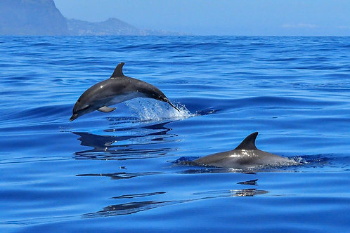 Swimming with dolphins in the Azores