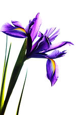 iris-839593.jpg