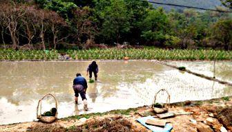 Planting rice.jpg