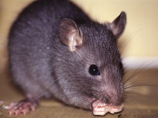 Pesquisa amplia vigilância a doenças transmitidas por roedores.