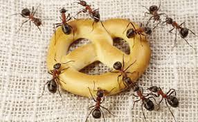 Formigas são mais perigosas para a saúde que as baratas
