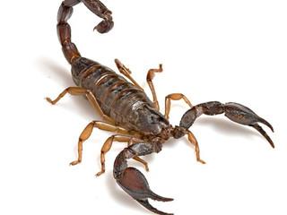 Moradora do Morumbi diz que capturou cem escorpiões em 3 dias
