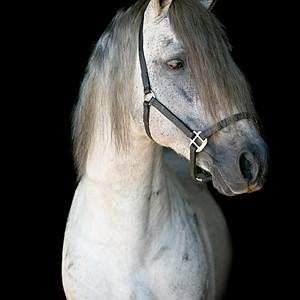 Impy, Warlander Stallion