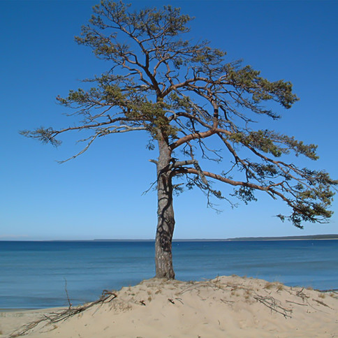 Baltic Tree