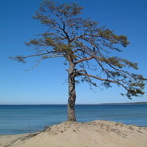 Baltic Tree