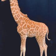 Girafon femelle à l'arrêt mesure 2,10 m de haut