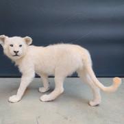 Lionceau blanc mâle au pas en regardant sur sa gauche