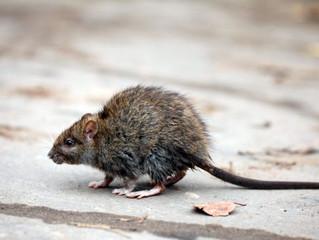 ADIEU RATS, SOURIS ET AUTRES NUISIBLES… Efficacité et rapidité Made in France