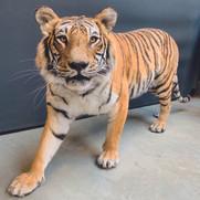 Tigre femelle à l'affût de sa proie à l'arrêt